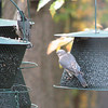 Female Bluebird on Feeder with White-breasted Nuthatch to the Left