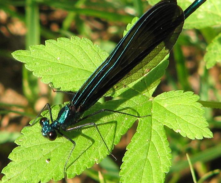Male Black-winged Damselfly In Rear Yard on Cleome Leaf