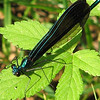 Male Black-winged Damselfly In Rear Yard on Cleome Leaf