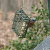 Even Eastern Bluebirds Like Suet