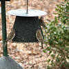 Newest Style Feeder Added to the Yard - Metal Doesn't Spread the Finch Disease - Female Purple Finches