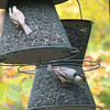 Black-capped Chickadee and White-breasted Nuthatch