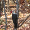 Pileated Woodpecker Near Deck