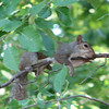 The Female Squirrel Says, I'm Out on a Limb for You, Honey