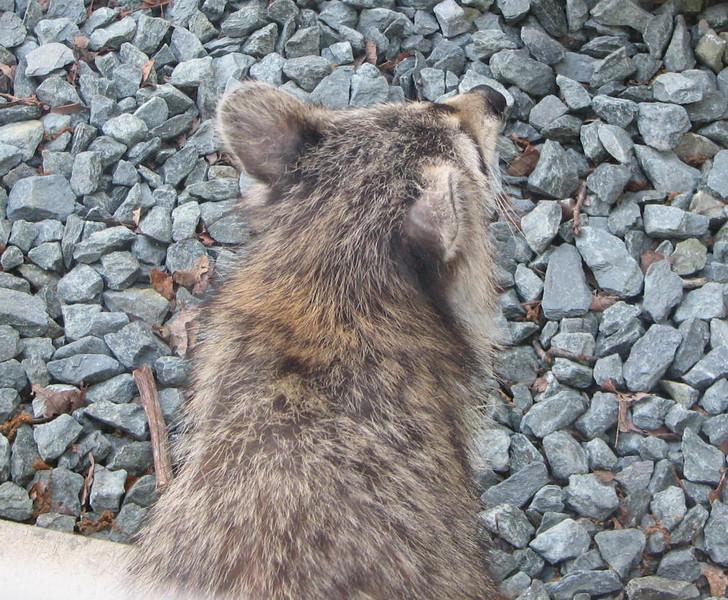 Young Raccoon Outisde Garage Door - 7 PM