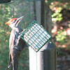Pileated Woodpecker on Small Suet Feeder