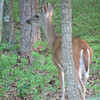 Mama Deer Visiting Daily End of July Into August with Two Little Ones