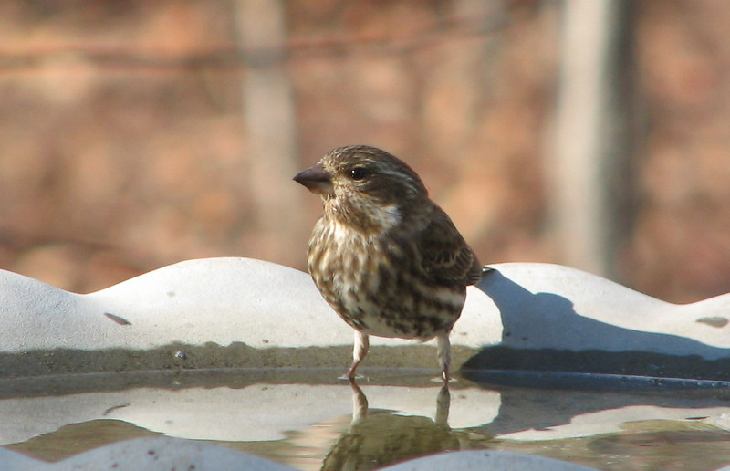 This is My Best Side so Take the Picture - Female Purple Finch