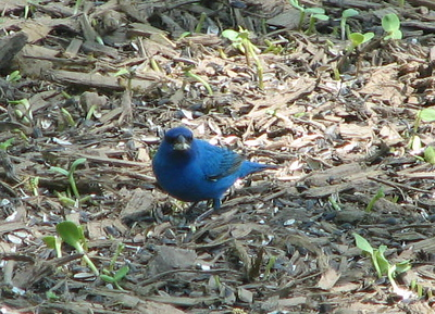 Front View of Indigo Bunting