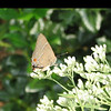 White M Hairstreak Butterfly (Parrhasius m-album)