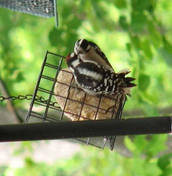 He's Giving Her a Special Morsel - Downy Woodpecker Mating Couple