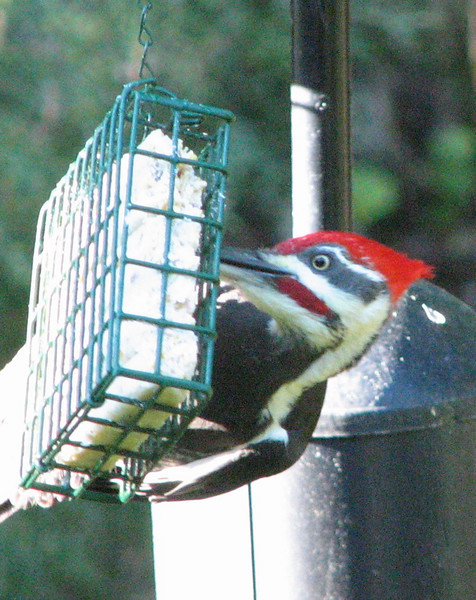 Close-up Face of Male Pileated Woodpecker on Suet