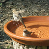 Yikes the Water is Cold - Female House Finches