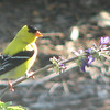 There's the Camera Behind the Window - American Goldfinch Male
