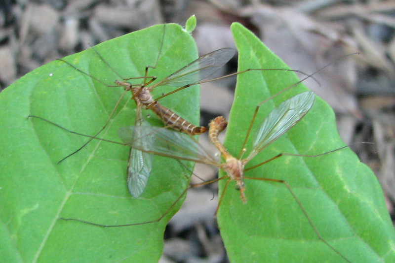 Mayflies Mating