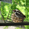 Only the Male Downy Woodpecker Now