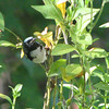 Male Black-throated Blue Warbler on Heritage Petunias on the Deck - First Sighting 10-9