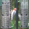 Said the Red-bellied Woodpecker to the Downy Woodpecker - Stay on Your Own Feeder and I'll Stay on Mine
