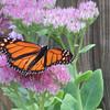 Monarch Butterfly on Stonecrop Sedum