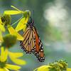 Monarch Butterfly on Green-headed Coneflower