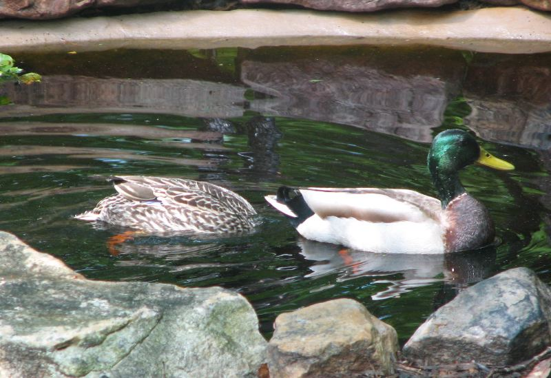 Just Like a Good Wife,This Mallard Duck is Looking for a Meal to Serve - No Fish in Our Pond But Plenty of Tadpoles