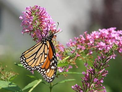 Monarch Butterfly On Pink Butterfly Bush