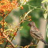 Looks Like a House Finch with Eye Disease on the Pyracantha Bush - Captured and Took Two This Year to The Wildlife Center