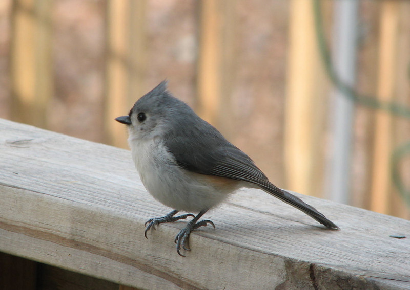 Tufted Titmouse Looking at His Reflection in My Window