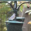 Female Bluebird on Top of Feeder