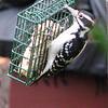 Adult Male Hairy Woodpecker Watching for Hawk