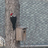 Male Pileated Woodpecker After Hammering on Bird House