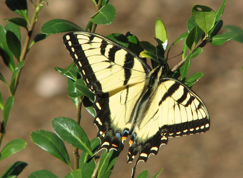 The First Butterfly for the Camera This Year - Male Eastern Tiger Swallowtail