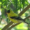 Let's Hide in the Trees - American Goldfinch Male