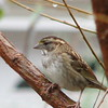 White-throated Sparrow On Willow Tree