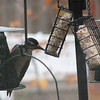 Convenient Feeding for Hairy Woodpecker