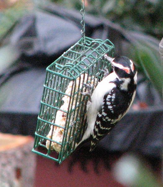 Adult Male Hairy Woodpecker