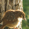 Carolina Wren Babies Are Still Spotted for Awhile