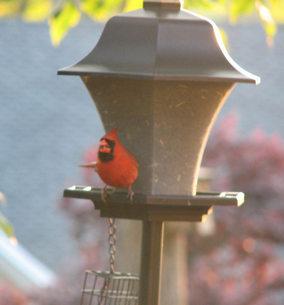 It's The Year for Cardinals - Finally - Male