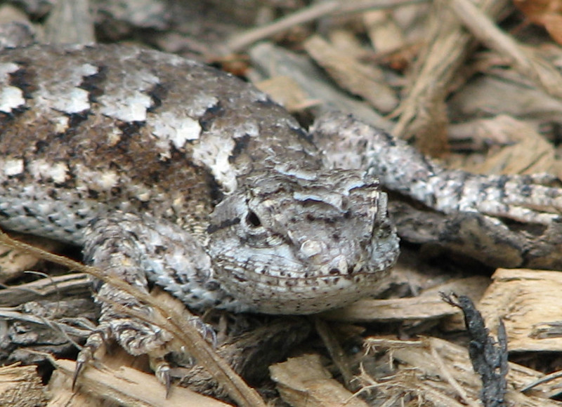 Frontal View of Female Eastern Fence Lizard