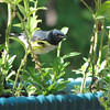 Male Black-throated Blue Warbler on Heritage Petunias on the Deck
