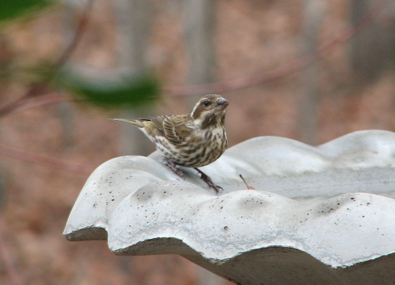 Female Purple Finch