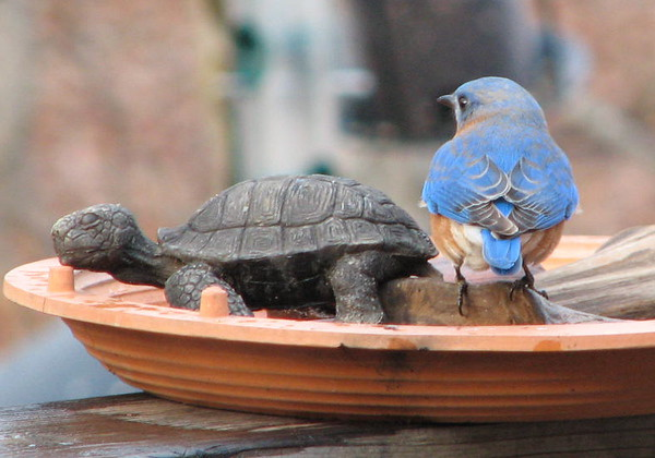 What's This Guy Doing in the Bird Bath - Male Eastern Bluebird