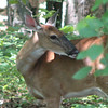 Deer Don't Like Those Pesky Flies