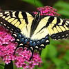 Close-up of Female Yellow Eastern Tiger Swallowtail Butterfly on Anthony Waterer Spirea_2
