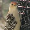 Male Red-bellied Woodpecker