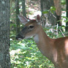 Deer By the Pond - June 4