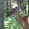 Deer By the Pond - June 4