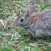 Eastern Cottontail Rabbit in the New Grass