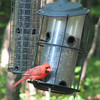 Male Cardinals Are So Welcome in Our Yard
