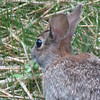 Enjoying the Sunflower Sprouts from Seed Planted by Squirrels - Eastern Cottontail Rabbit